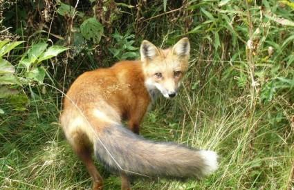 Lisica - čovjekov prvi najbolji prijatelj?