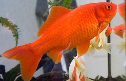 Najbolje ribice za akvarij for Peces de agua fria koi