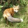 Čovjekov prvi najbolji prijatelj nije bio pas nego lisica?