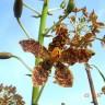 Procvala divovska orhideja s 400 cvjetova