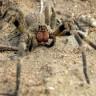 Otrov najsmrtonosnijih pauka liječi karcinom dojke?