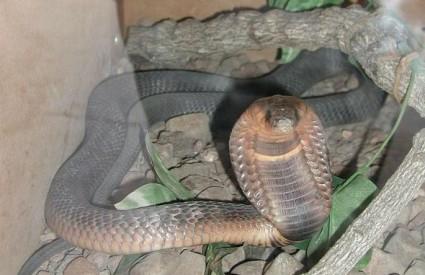 Egipatska kobra