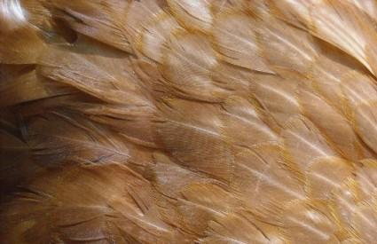 Kokošje perje