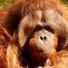 Proizvodnja palmina ulja uništava orangutane