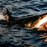 U Australiji otkriveni hibridni morski psi