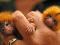 Džepni majmunčići