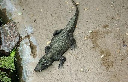 Patuljasti zapadnoafrički krokodil