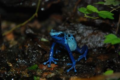 Dendrobates Azueres, vrsta otrovne plave žabe