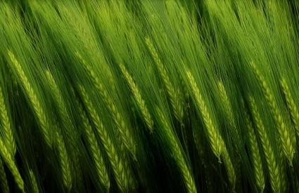 Zelena pšenica