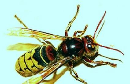 ubod može biti samo bolan, ali može dovesti i do jake alergijske reakcije
