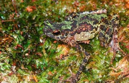 Dugina žaba smatrala se izumrlom 87 godina