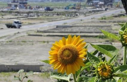 Japanska je vlada financirala sadnju suncokreta, kako bi pomogli smanjenju zagađenosti radijacijiom