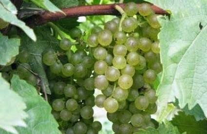 Grožđe je ukusno i nevjerojatno zdravo