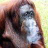 Orangutanica iz Malezije na odvikavanju od cigareta