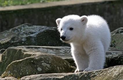 Knut, polarni medvjed, Wikipedia