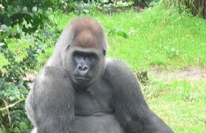Gorile su i dalje ugrožene