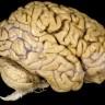 Otkriveno zašto ljudi imaju veliki mozak