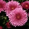 Koje cvijeće nosimo na dan Svih Svetih