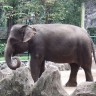 Slonovima na Sumatri prijeti izumiranje