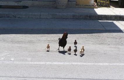 Zašto se Mujo ne može riješiti kokoši?