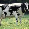 U Kaliforniji potvrđen slučaj kravljeg ludila