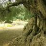 Michelle Obama simbolički na dar dobila stablo masline