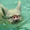 Svinje mogu biti pesimisti, baš kao i ljudi