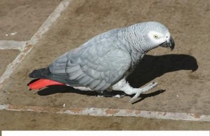 Sive papige inteligentne kao trogodišnjaci