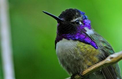 Kako je Mujo opisao kolibrića