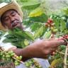 Čak 60 posto vrsta divlje kave je ugroženo
