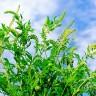 Alergičari - ambrozija je u punom cvatu, evo savjeta!