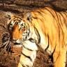 Znanstvenici i policija udvostručili broj tigrova u Nepalu
