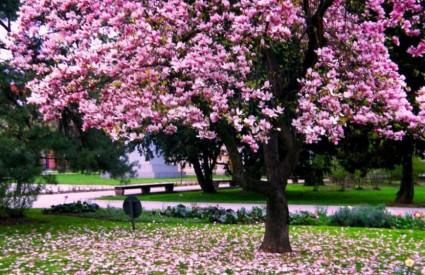 Magnolije su ukras svakog vrta