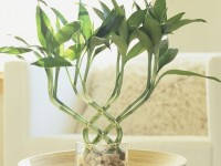 7 biljaka koje nose sreću