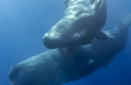 Kitovi su ugroženi