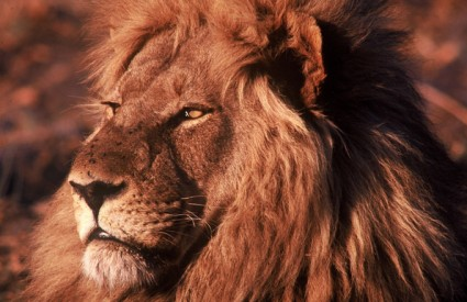 Lavovi jedu koliko im je potrebno