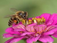 Pčela, kukac, oprašivanje