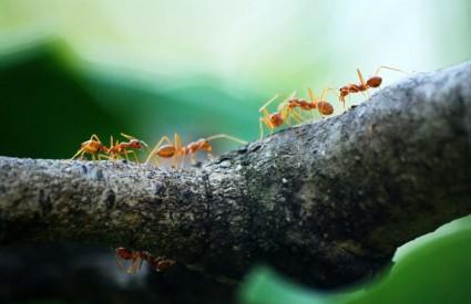 Neki mravi proizvode svoje antibiotike