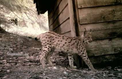 LIFE Lynx - projekt zaštite risova
