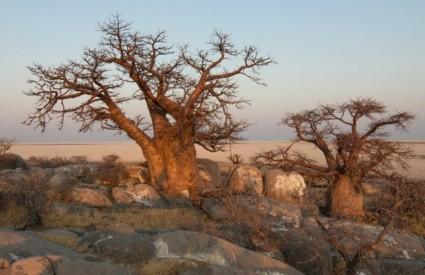 Tisućljetni baobabi se suše