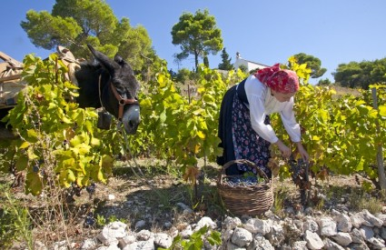 Pelješka vina su nadaleko poznata