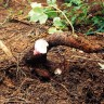 Biološki razgradiva plastika od korijena manioka