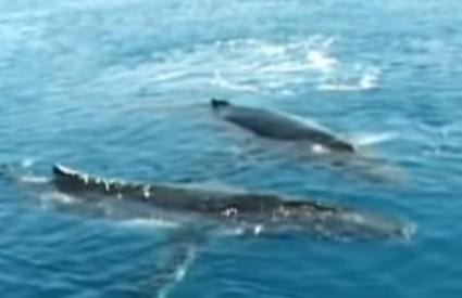 Raspjevani kitovi