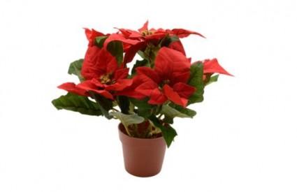 Božićna zvijezda je nježna biljka