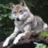 Odbjegla vučica iz zoo-vrta na jedinoj slobodi